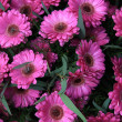 Wet pink gerbera — Stock Photo