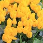 Bunch of yellow tulips — Stock Photo #14014999