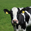 Portrait of cow — Stock Photo #14016061