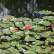 Floating water lillies — Stock Photo