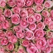 Pink roses in a group — Foto Stock