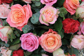 Roses in different shades of pink — Stock Photo