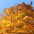 Fall Foliage and a clear blue sky — Stock Photo #14728445