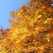 Stock Photo: Fall Foliage and a clear blue sky