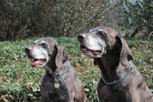 Senior pointer sisters, german shorthaired pointers — Stock Photo