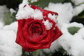 Red rose in the snow — Stockfoto