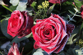 Frosted red roses — Stock Photo