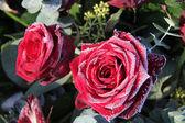 曇らされた赤いバラ — ストック写真