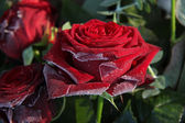 Frosted red rose — Foto de Stock
