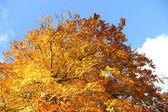 Fall Foliage and a clear blue sky — Stock Photo