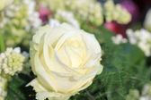 Bílou růži — Stock fotografie