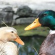 Duck Couple — Stock Photo