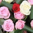 Red, white and pink roses - Stockfoto
