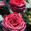 Frosted red rose - Stockfoto