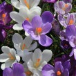 Purple and white crocuses in a field - Stockfoto