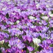 Purple and white crocuses in a field — 图库照片