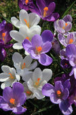 Purple and white crocuses in a field — Stock Photo