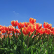 Red tulips with a touch of yellow on a field — Lizenzfreies Foto