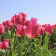 Purple pink tulips in the sunlight — Stock Photo #19667109