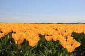 Yellow tulips in a field — Stock Photo