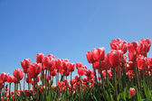 Tulipes roses au soleil — Photo