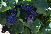 Grapes in the Provence — Stock Photo