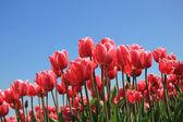 Tulipani rosa alla luce del sole — Foto Stock