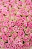 Růžové růže ve skupině — Stock fotografie