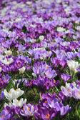фиолетовый и белый крокусы в поле — Стоковое фото
