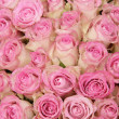Pink roses in a group — Stock fotografie