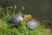 Two turtles near waterside — Стоковое фото