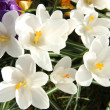 White crocusus in spring sunlight — Stok fotoğraf