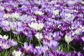 Group of crocuses — Stock Photo