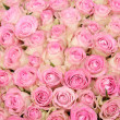 Stock Photo: Pink roses in a group