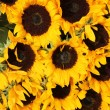 Big group of sunflowers - ストック写真