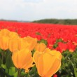 Yellow and red tulips on a field — Stock Photo