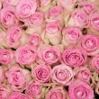 Pink roses in a group — ストック写真