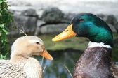 Duck Couple — Stock Photo