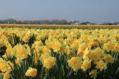 Yellow daffodils in a field — Stock Photo