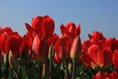 Red tulips in a field — Stock Photo