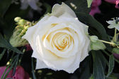 Frosted white rose — Stock Photo