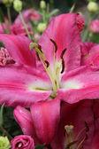Big pink lily — Stock Photo