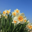 White and yellow daffodils — Stock Photo