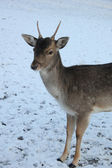 Young deer in the snow — Foto Stock