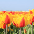Yellow and red tulips in a field — Stock Photo