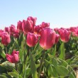 Purple pink tulips in the sunlight — Stock Photo