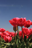 Pink tulips growing on a fiield — Stock Photo