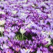 Group of crocuses — Stock fotografie