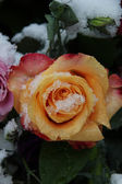 Yellow red rose in the snow — Stock Photo