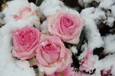Pink roses in the snow — Stock Photo